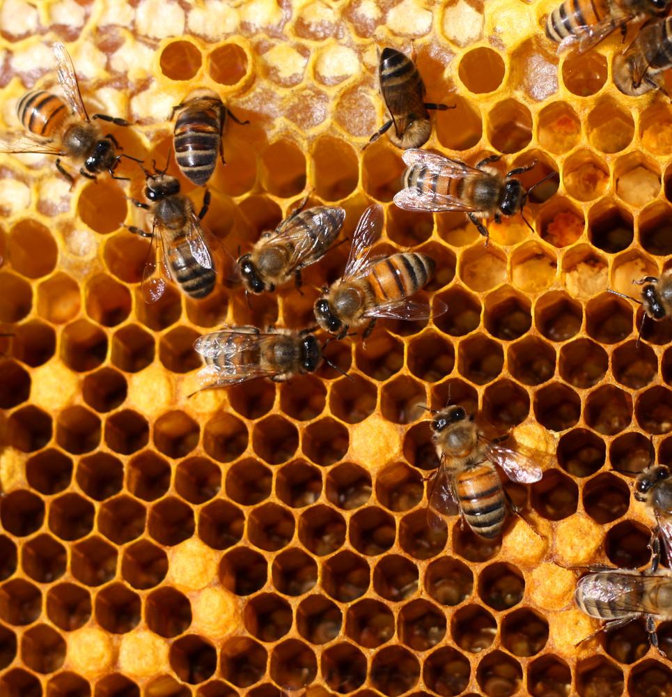Ασθένειες μελισσών, Μελίριο