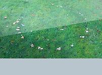 example of fairy rings lawn disease