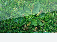 Plantain lawn weed