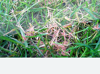 Example of red thread lawn disease
