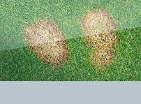 Example of fusarium patch lawn disease