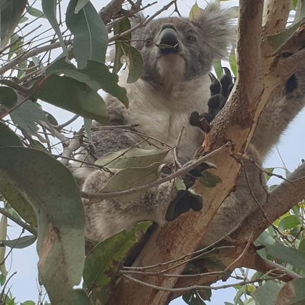 Koala Trail