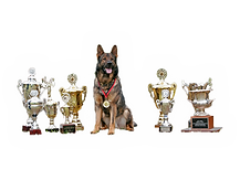 Superior K9, superior, german shepherds, shepherd, schutzhund, police k9, best, top, breeder, breeders, obedience, training, dog, gsd, nike, georgia, ga, detection, K-9, sable, champions, import, imported, ace of nike, breeds, aggressive, sheriff, van het