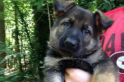 Superior K9, superior, german shepherds, shepherd, malinois, for sale, police, best, top, k9, breeders, obedience, training, dog, gsd, georgia, ga, detection, K-9, sable, champions, import, personal protection, obedience, sheriff, puppy, puppies