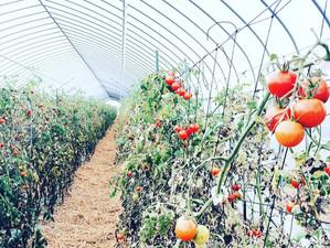 トマトのイナゾーファームへ