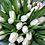 Thumbnail: Tulipanes Blancos