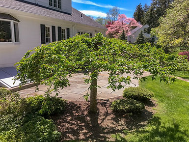Weeping cherry 1 before_after_7.jpg