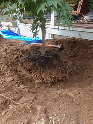 Japanese Maple Transplanting 2.jpg