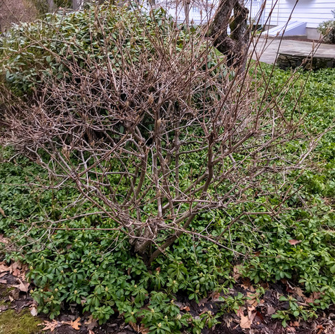 Viburnum #2 Before/After:
