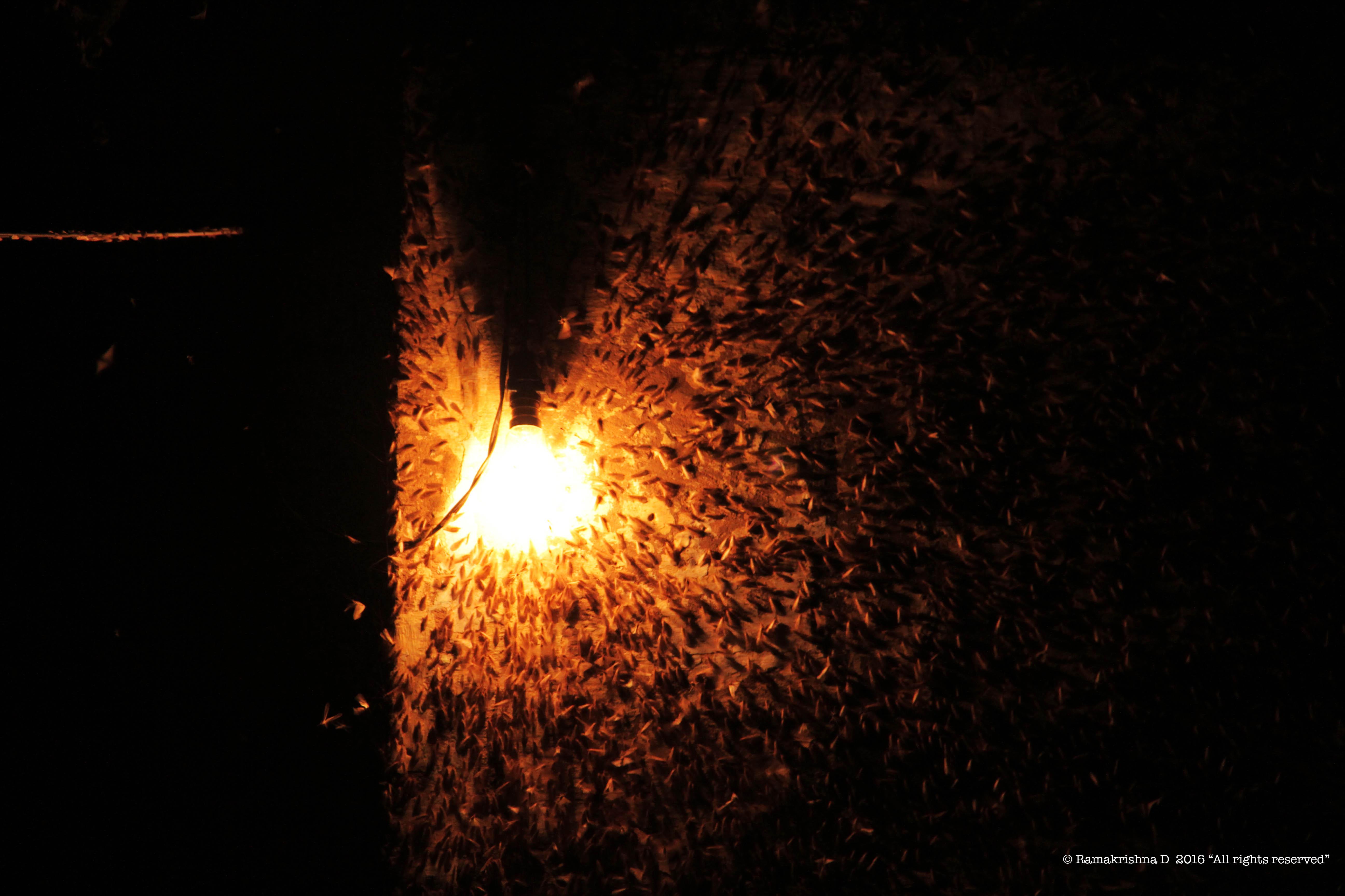 Bulb Flies