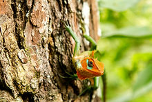 Green Orange Garden Lizard | Sinharaja S