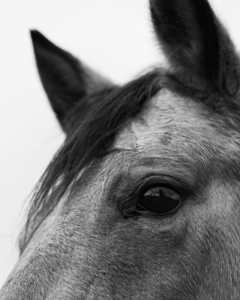 Oregon Horse_bw_Close Up.jpg