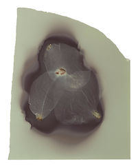 corona melissa efrus
