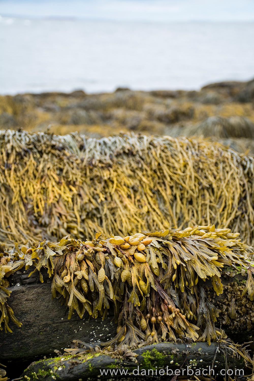 Seaweed at Cape Elizabeth, Maine