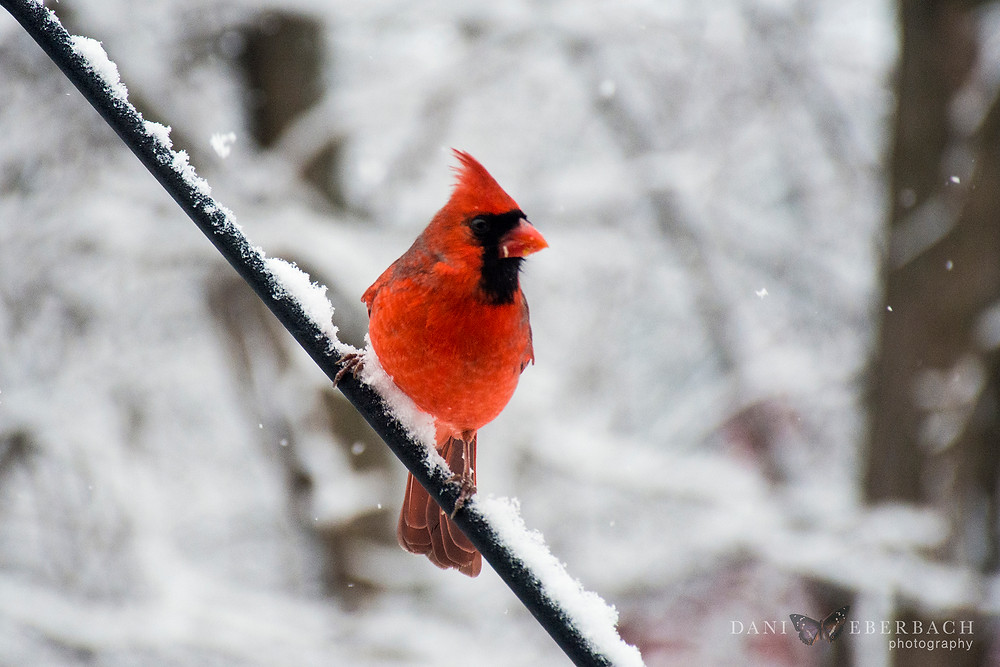 Cardinal in snow fall