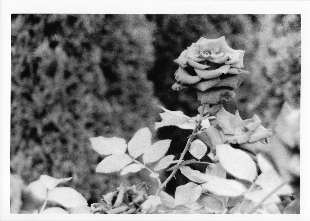 Black and white darkroom print of a rose