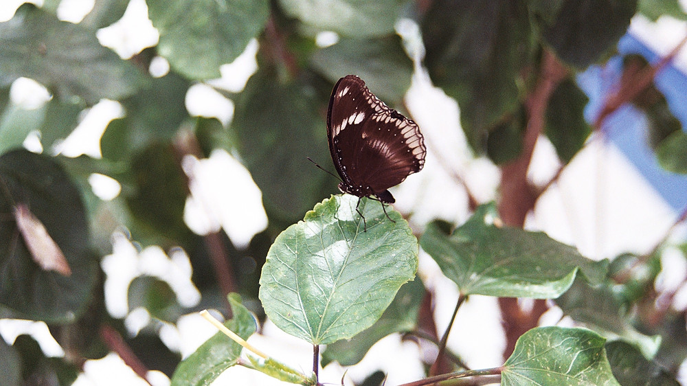 Butterfly sitting on a leaf at the Fort Wayne Botanical Conservatory