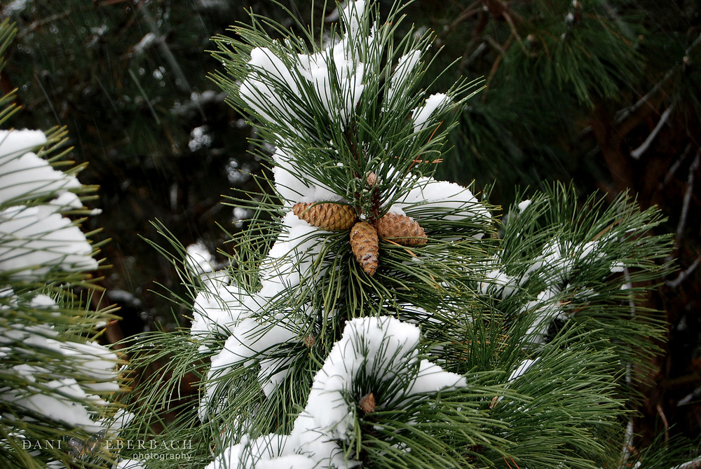 Snow on evergreen branches and pine cones