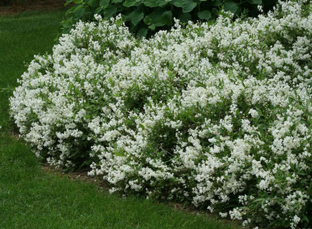 Plant of the month: Deutzia Gracilis 'Nikko'