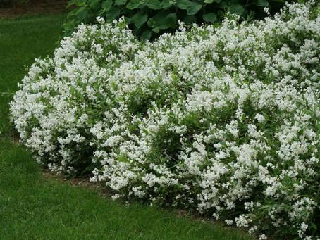 Plant of the month: Deutzia Gracilis 'Nikko'