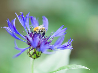 close up of a bee on a flower in a landscaped garden in cambridge UK