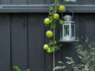 A black painted fence in a modern cambridge garden design with an apple tree and lantern in front