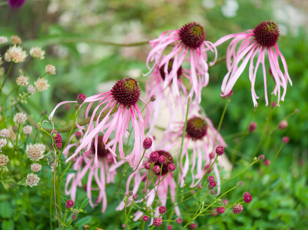 Close up of echinacea flowers in a cambridge garden