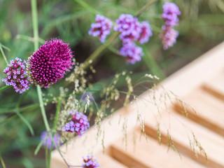 Close up of verbena bonariensis and allium drumsticks in a modern cambridge garden