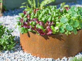 Round raise bed made from corten steel with salad growing in it.  Gravel garden in cambridge