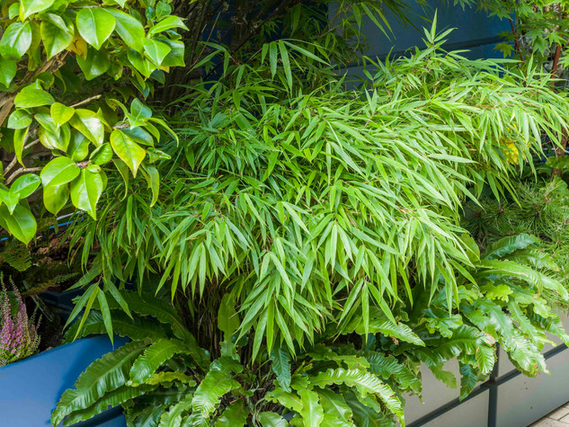 Bamboo and ferns in blue in grey modular fibreglass planters on a brick patio