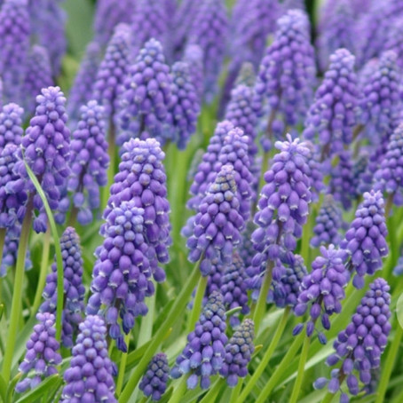 Plant of the Month: Muscari ameniacum