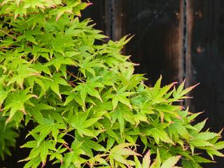 Close up of a japanese acer palmatum against black wood cladding