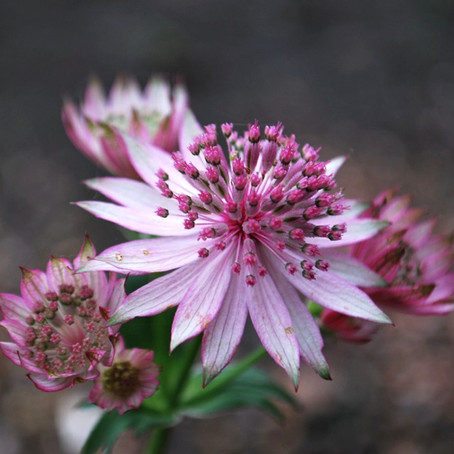 """Plant of the Month: Astrantia """"Roma"""""""