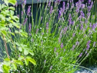 Lavender against a dark fence