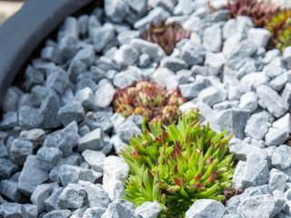 Sempervivum in gravel