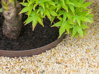 Close up shot of the base of an acer palmatum with a tree ring set in resin bound gravel in a modern gambridge garden