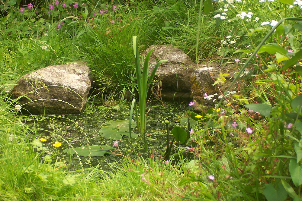 A wildlife friendly garden pond with rocks at the edge