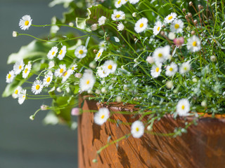 Flowering daisy plant spilling over the edge of a contemporary pot made from corten in Cambridge
