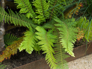Close up of fern leaves in a cambridge garden