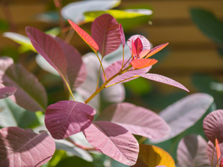Close up of Cotinus leaf illuminated by the sun in a landscaped garden