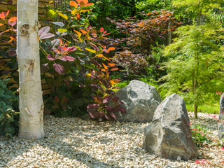 Close up of a japanese style garden with acer palmatum japense maple, birch tree and landscaping rocks