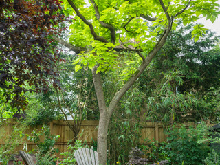 A catalpa tree in a modern garden designer in cambridge