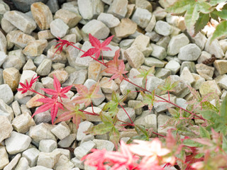 Close up of a japanese maple (acer palmatum) on gravel in a landscaped garden in cambridge england