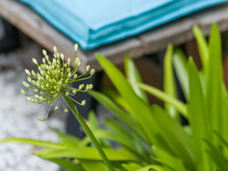 Close up of an agapanthus plant with a bench and cushion behind
