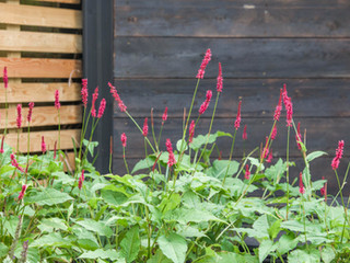 Persicaria amplexicaulis and red bistort in flower in from of shou sugi ban burnt larch cladding