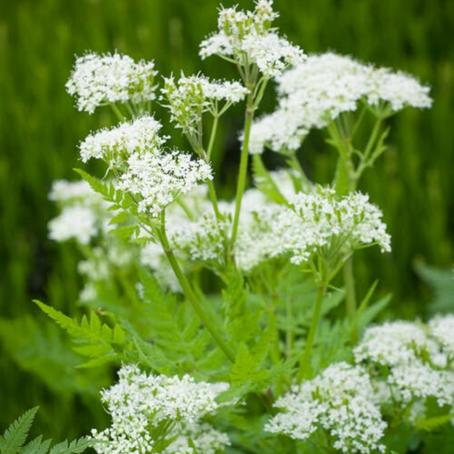 Plant of the Month: Myrrhis odorata (Sweet cicely)