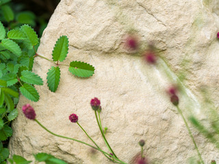 Close up of a landscaping rock or boulder with sanguisorbia flowers and leaves in front