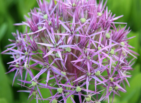 Plant of the Month: Allium christophii