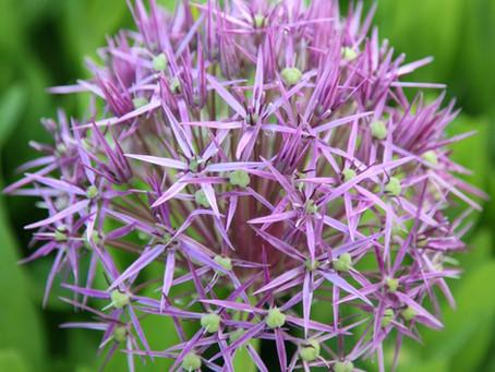 Plant of the Month: Allium christophii