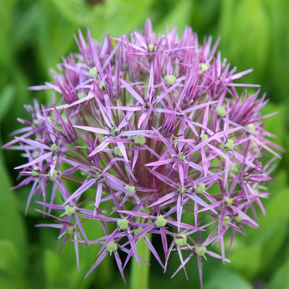 close up of Allium christophii blub flower head.  Pale purple star shaped flowers.